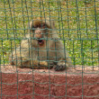 Macaque monkey — Stock Photo #36737227