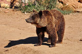 Brown bear wild animal — Stock Photo