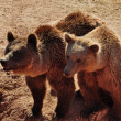 Stock Photo: Two brown bears