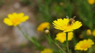 Flying worker bee — Stock Video
