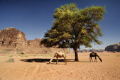 Camels in Wadi Rum — Stock Photo