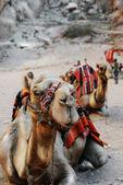 верблюды — Стоковое фото