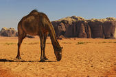 Camel in Wadi Rum — Stock Photo
