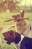 Dog with stick — Stock Photo