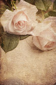 Roses blanches — Photo
