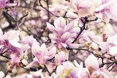 Magnolia — Foto de Stock