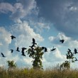 Stock Photo: Crows fly