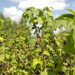 Blackcurrant growing — Stock Photo