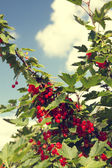 Red currant grows — Stock Photo