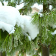 Stock Photo: Snowy tree branch
