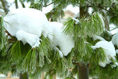 Snowy tree branch — Stock Photo