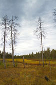 Siberia forest — Stock Photo
