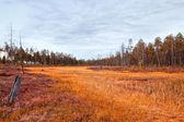 Siberia forest.Yamal — Stock Photo