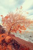 Herfst rode boom in de buurt van de Oceaan — Stockfoto
