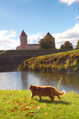 Cat goes near the old castle — Stock Photo