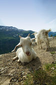 Goats in the mountains. — Stock Photo