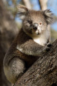 Koala on tree — Stock Photo