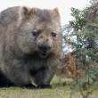 Wombat close-up — Stock Photo