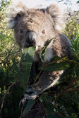Close up of koala — Stock Photo