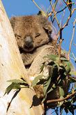 Sleeping koala — Stock Photo