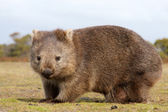 Wombat close-up — Stock Photo