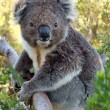 Koala on tree — Stock Photo #13119432