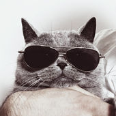 Funny muzzle of gray British cat in sunglasses — Stock Photo