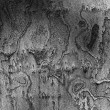 Gray sycamore bark texture — Stock Photo