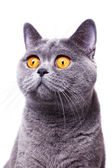 Gray shorthair British cat — Stock Photo