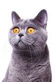 Gray shorthair British cat — Stock Photo