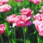 Pink tulip field — Stock Photo