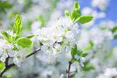Rama de árbol de manzana con flores — Foto de Stock