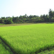 Ricefield with bright juicy shoots of rice — Stock Photo