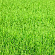 Young green rice plants — Stock Photo