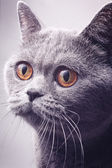 Portrait of gray shorthair British cat — Stock Photo