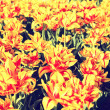 Bright red and yellow tulips — Stock Photo #40539997