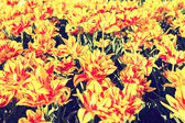 Bright red and yellow tulips — Stock Photo