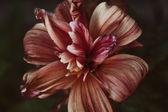 Fading flower dahlia — Stock Photo