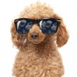 Red Toy Poodle in the sunglass — Stock Photo #12799318