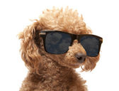 Red Toy Poodle in the sunglass — Stock Photo