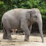 Asian elephant — Stock Photo #15764117