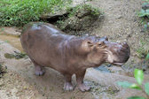 African hippopotamus — Stock Photo