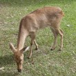 Eld's deer from Thailand - Stock Photo