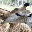 Giraffe closeup — Stock Photo #16493245