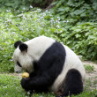 Giant panda bear - Stock Photo