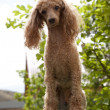 Red toy poodle — Stock Photo #27189779