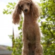 Постер, плакат: Red toy poodle