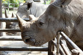 African black rhinoceros — Stock Photo