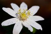 White anemone — Stock Photo