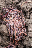 Red worms in compost — Stock Photo